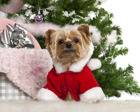 Yorkshire Terrier, 7 years old, with Christmas gifts in front of white background photo