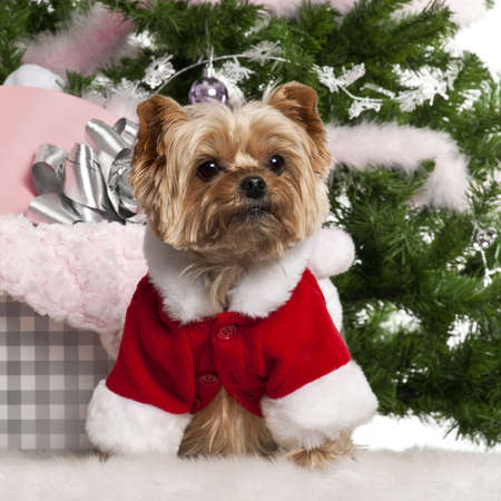 santa outfit: Yorkshire Terrier, 7 years old, wearing Santa outfit with Christmas gifts in front of Christmas tree Stock Photo