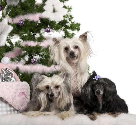 6 9 years: Chinese Crested Dogs, 6, 4 and 9 years old, lying with Christmas gifts in front of white background