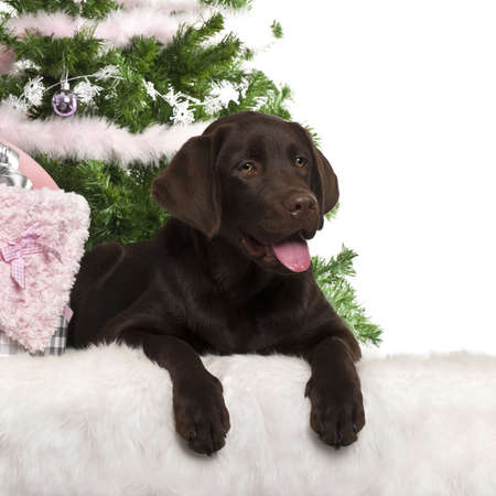 labrador christmas: Labrador Retriever puppy, 5 months old, lying with Christmas gifts in front of white background