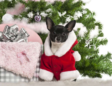 chihuahua 7 months old wearing santa outfit with christmas gifts in front of white