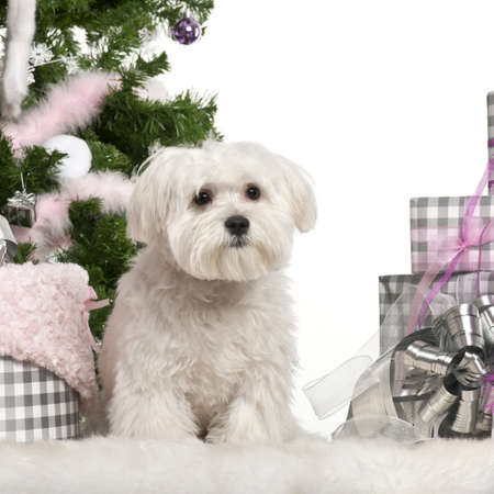 Maltese puppy, 6 months old, sitting with Christmas tree and gifts in front of white background photo