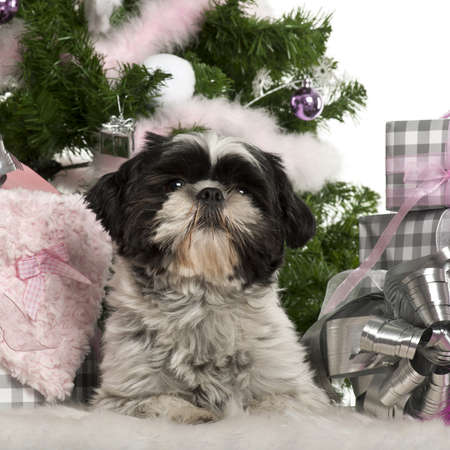 Shih Tzu, 18 months old, lying with Christmas gifts in front of white background photo