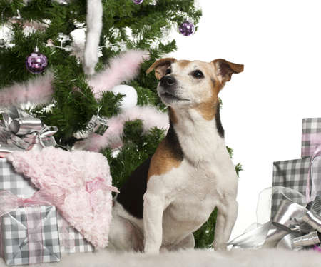 Jack Russell Terrier, 10 old, sitting with Christmas tree and gifts in front of white background photo