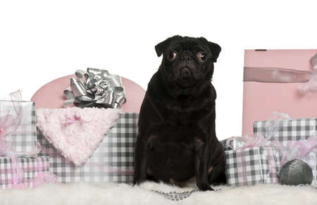 Pug sitting with Christmas gifts in front of white background photo