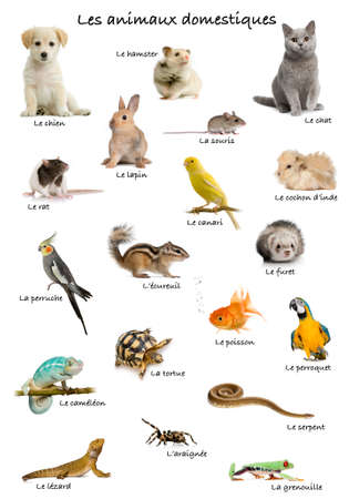 canary bird: Collage of pets and animals in French in front of white background, studio shot Stock Photo