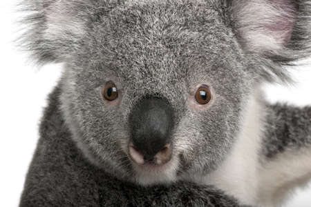 koala: Joven koala, Phascolarctos cinereus, 14 meses de edad, delante de fondo blanco