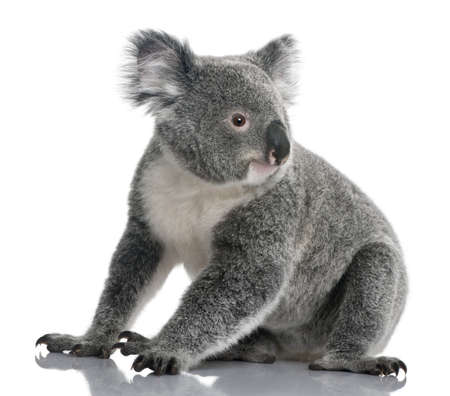 koala: Joven koala, Phascolarctos cinereus, 14 meses de edad, sentado delante de fondo blanco