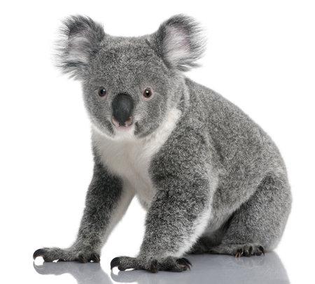 coala: Joven koala, Phascolarctos cinereus, 14 meses de edad, sentado delante de fondo blanco