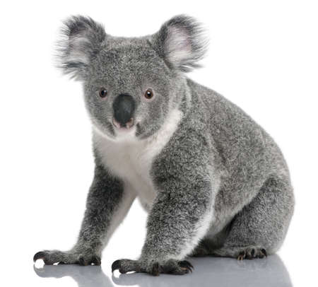 alertness: Young koala, Phascolarctos cinereus, 14 months old, sitting in front of white background
