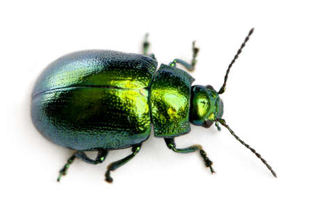 Leaf beetle, Chrysomelinae, in front of white background Standard-Bild