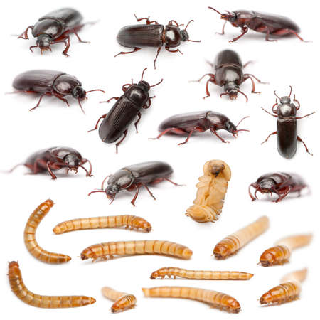 ciclo de vida: Ciclo de vida de una composición gusano de la harina, Tenebrio molitor, delante de fondo blanco Foto de archivo