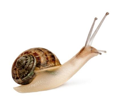 gastropod: Garden Snail, Helix aspersa, in front of white background