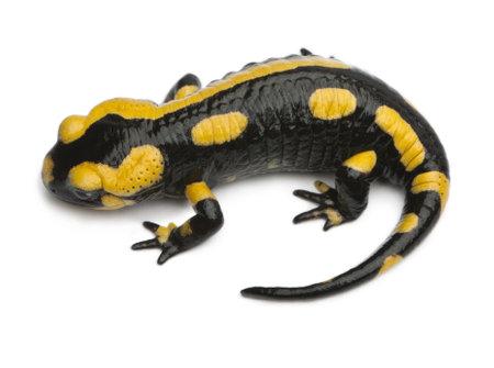 salamandre: Salamandre tachetée, Salamandra salamandra, en face de fond blanc