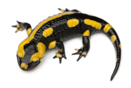 salamandra: Salamandra, Salamandra salamandra, delante de fondo blanco