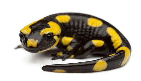salamandre: Salamandre tachet�e, Salamandra salamandra, en face de fond blanc