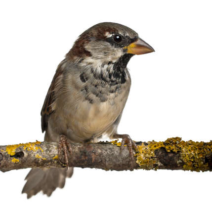 domesticus: Male House Sparrow, Passer domesticus, 4 months old, in front of white background