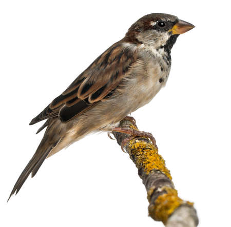 Male House Sparrow, Passer domesticus, 4 months old, in front of white background photo