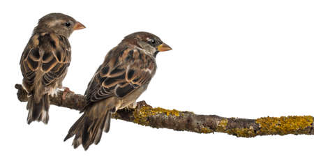 passer    by: Male and Female House Sparrows, Passer domesticus, 4 months old, in front of white background