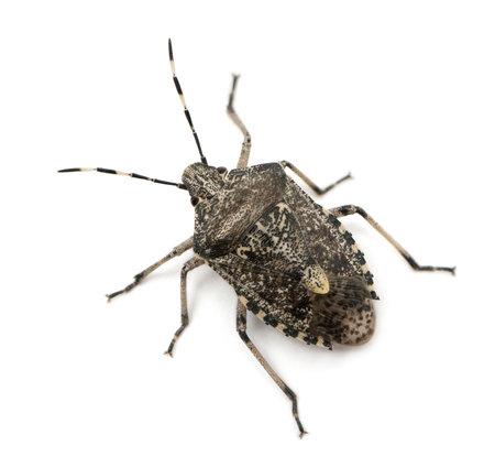 stink: European stink bug, Rhaphigaster nebulosa, in front of white background Stock Photo