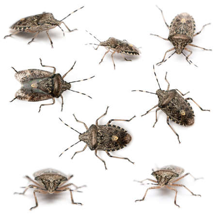 Composition of European stink bugs, Rhaphigaster nebulosa, in front of white background photo