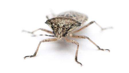 European stink bug, Rhaphigaster nebulosa, in front of white background photo
