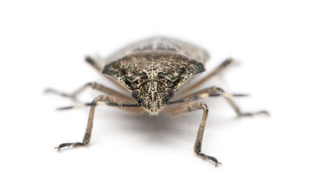 European stink bug, Rhaphigaster nebulosa, in front of white background photo