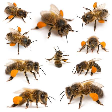 abeja: Composici�n de las abejas mel�feras occidentales o las abejas europeas, Apis mellifera, llevando el polen, delante de fondo blanco