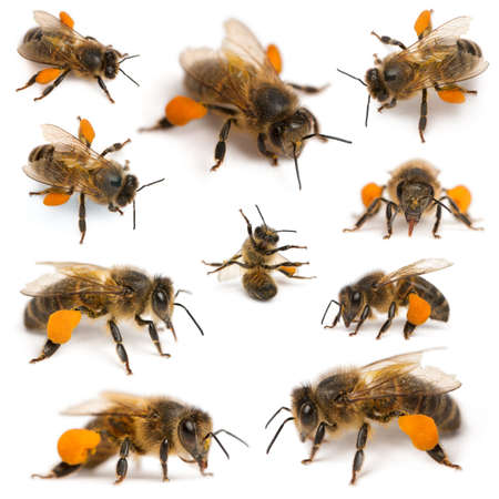 with pollen: Composition of Western honey bees or European honey bees, Apis mellifera, carrying pollen, in front of white background