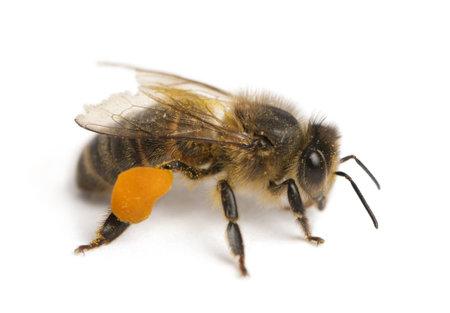 abeja: Occidental miel de abeja o miel de abeja europea, Apis mellifera, llevando el polen, delante de fondo blanco