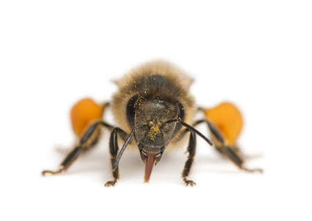 apis: Western honey bee or European honey bee, Apis mellifera, carrying pollen, in front of white background Stock Photo