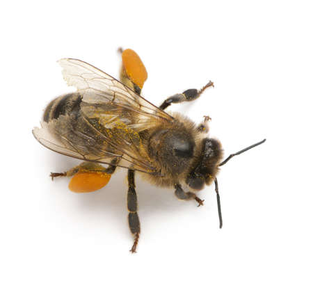overhead shot: Western honey bee or European honey bee, Apis mellifera, carrying pollen, in front of white background Stock Photo