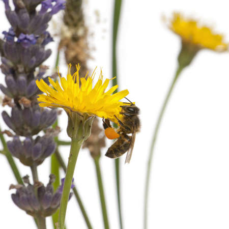 mellifera: Western honey bee or European honey bee, Apis mellifera, carrying pollen, on flower in front of white background