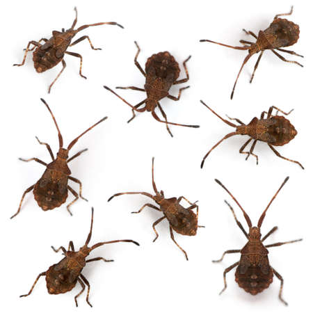 squash bug: Composition of Dock bugs, Coreus marginatus, in front of white background Stock Photo
