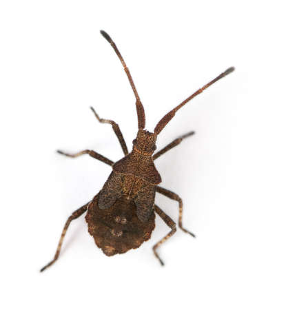 squash bug: Dock bug, Coreus marginatus, in front of white background
