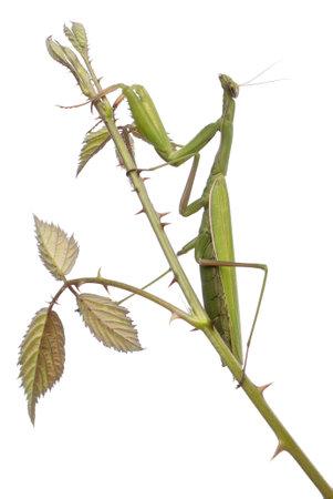 european mantis: Female European Mantis or Praying Mantis, Mantis religiosa, on a bramble in front of white background
