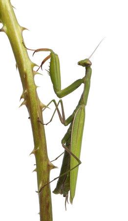 gottesanbeterin: Weibliche Europ�ische Gottesanbeterin Mantis oder, Mantis religiosa, auf einem Bramble vor wei�em Hintergrund
