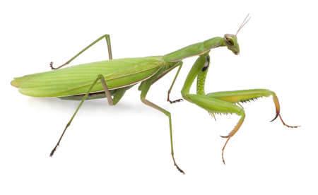 Female European Mantis or Praying Mantis, Mantis religiosa, in front of white background Stock Photo