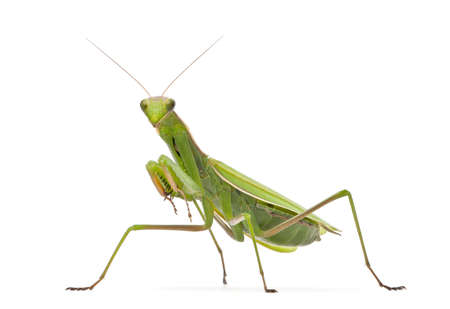 european mantis: Female European Mantis or Praying Mantis, Mantis religiosa, in front of white background Stock Photo