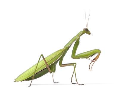 mantis: Female European Mantis or Praying Mantis, Mantis religiosa, in front of white background Stock Photo