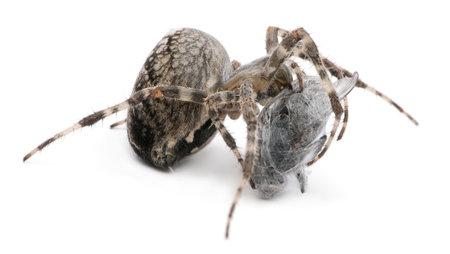 European garden spider, diadem spider, cross spider, or cross orbweaver, Araneus diadematus, eating a fly in front of white background Stock Photo - 12039055