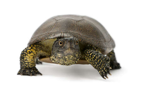 European pond turtle, Emys orbicularis, in front of white background photo