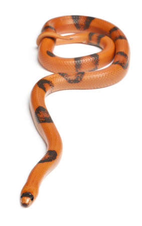 lampropeltis triangulum hondurensis: Reverse Hypomelanistic Honduran milk snake, Lampropeltis triangulum hondurensis, in front of white background Stock Photo