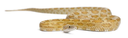Goldest juvenile Corn Snake, Pantherophis guttatus, in front of white background photo