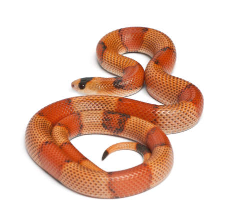 lampropeltis triangulum hondurensis: Tricolor hypomelanistic Honduran milk snake, Lampropeltis triangulum hondurensis, in front of white background Stock Photo