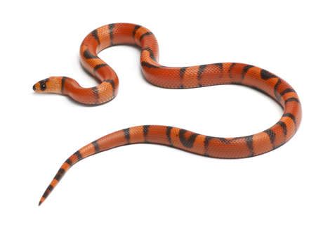 lampropeltis triangulum hondurensis: Tricolor hypomelanistic aberrant Honduran milk snake, Lampropeltis triangulum hondurensis, in front of white background Stock Photo
