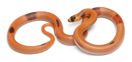 lampropeltis triangulum hondurensis: Tricolor sunrise patternless reverse Honduran milk snake, Lampropeltis triangulum hondurensis, in front of white background