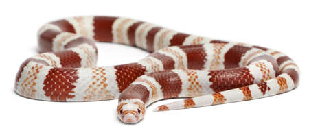 lampropeltis triangulum hondurensis: Albino Tangerine Honduran milk snake, Lampropeltis triangulum hondurensis, in front of white background
