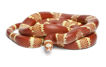 lampropeltis triangulum hondurensis: Albino Tangerine selection Honduran milk snake, Lampropeltis triangulum hondurensis, in front of white background
