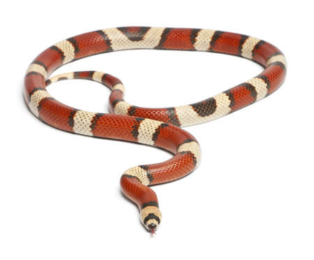 lampropeltis triangulum hondurensis: Tricolor vanishing Honduran milk snake, Lampropeltis triangulum hondurensis, in front of white background